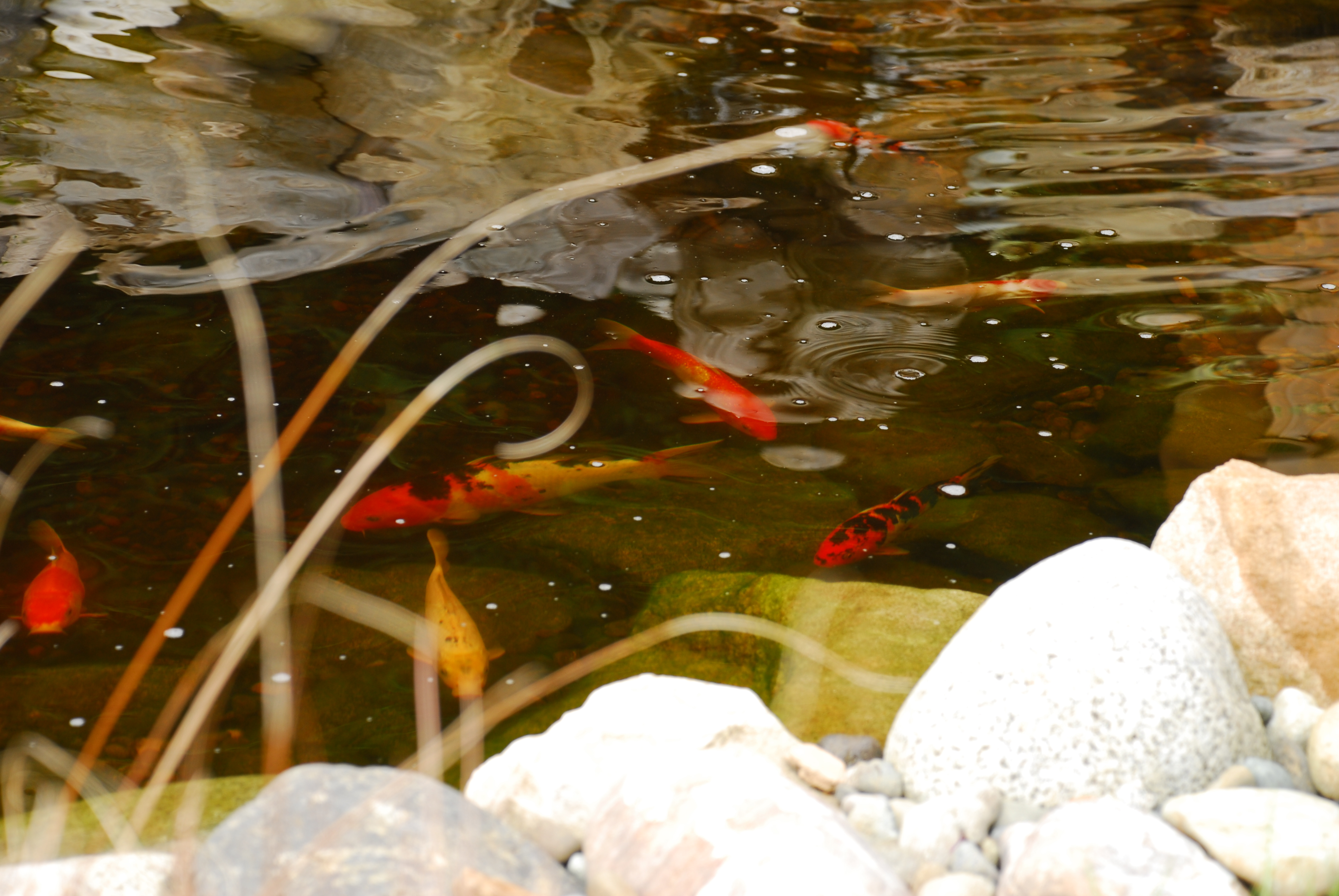 Water features dzingle 39 s landscaping llc serving the for Koi fish environment